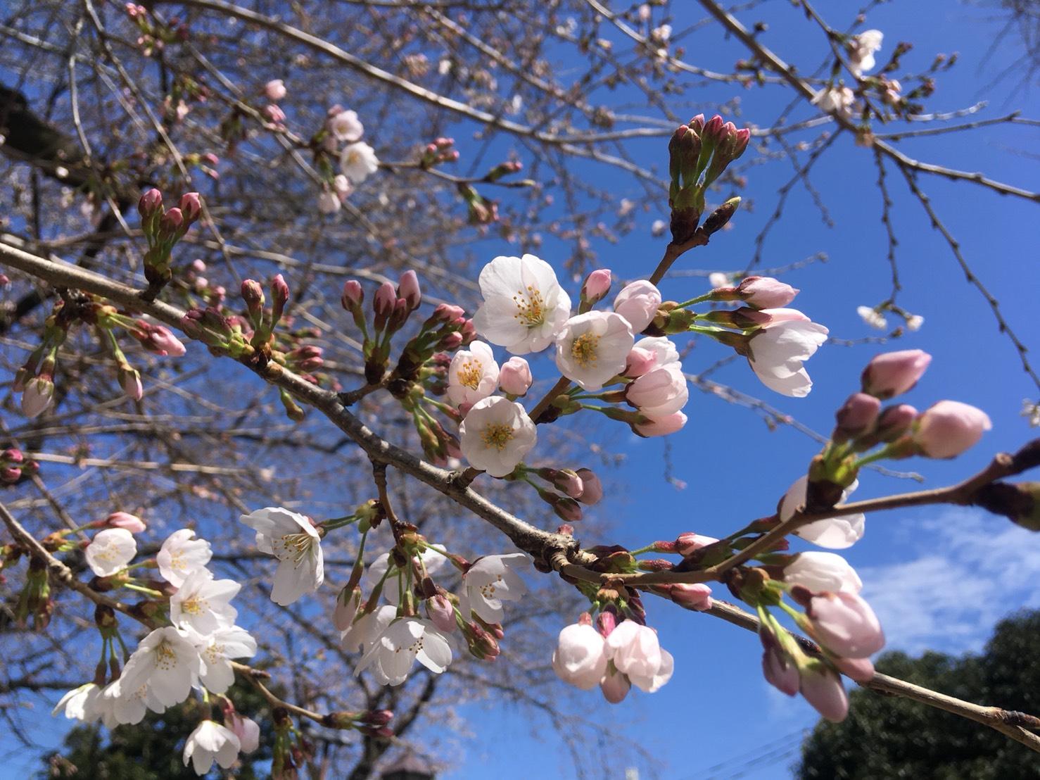 さーて、今週の桜ちゃんはー?
