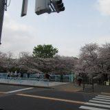 善福寺川 桜 満開!!